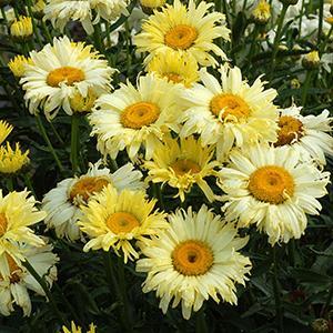 Daisy Shasta Goldfinch    - Leucanthemum superbum -  lg pot